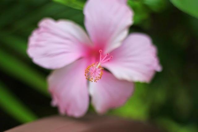 Kauai Pink Hibiscus - Heather Toner
